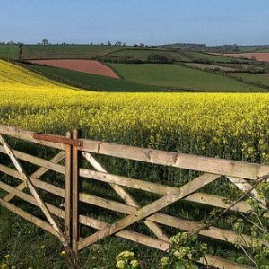Fields of rapeseed in Cornwall